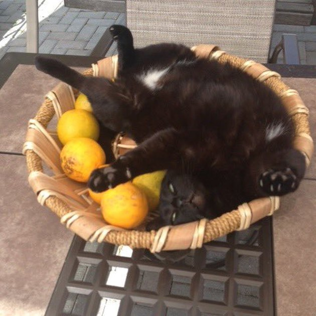 cat sleeps in basket of oranges