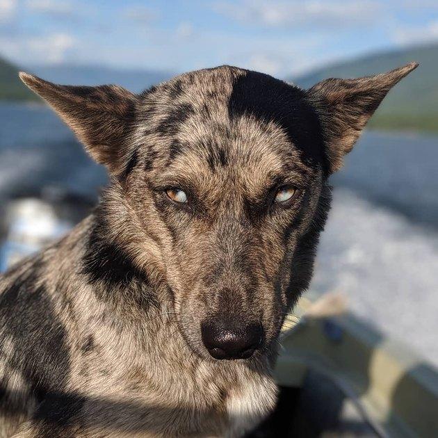 Siberian Aussie dog on a boat