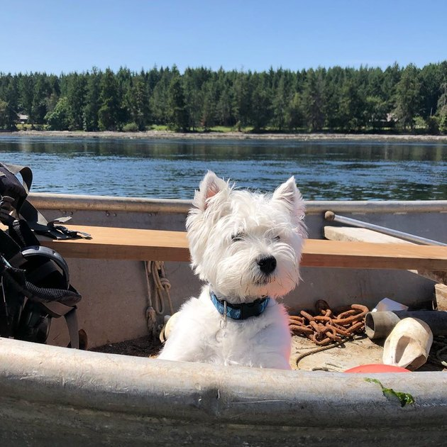 Westie dog on a lake boat