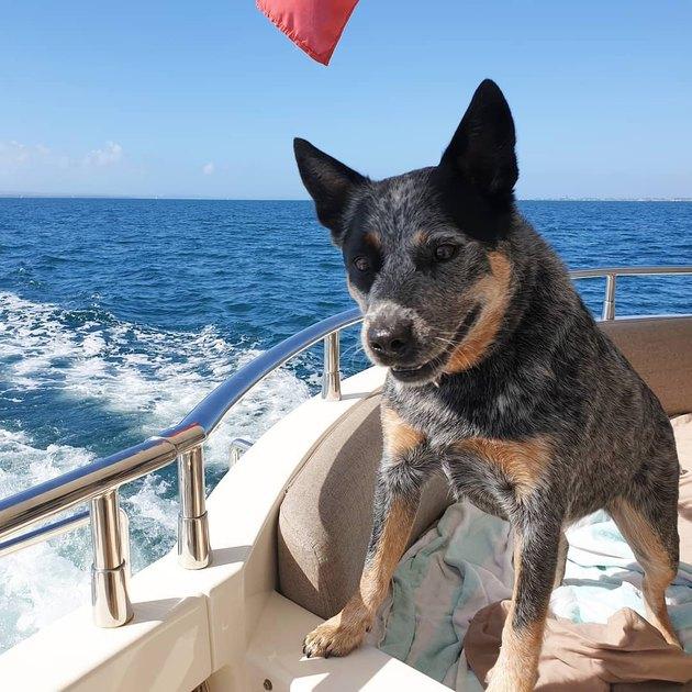 Aussie cattle dog loves boat rides
