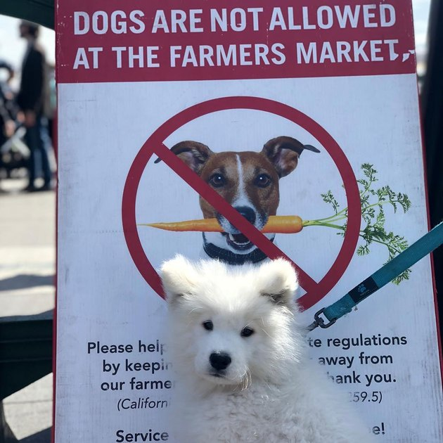 white dog poses in front of no dogs allowed sign