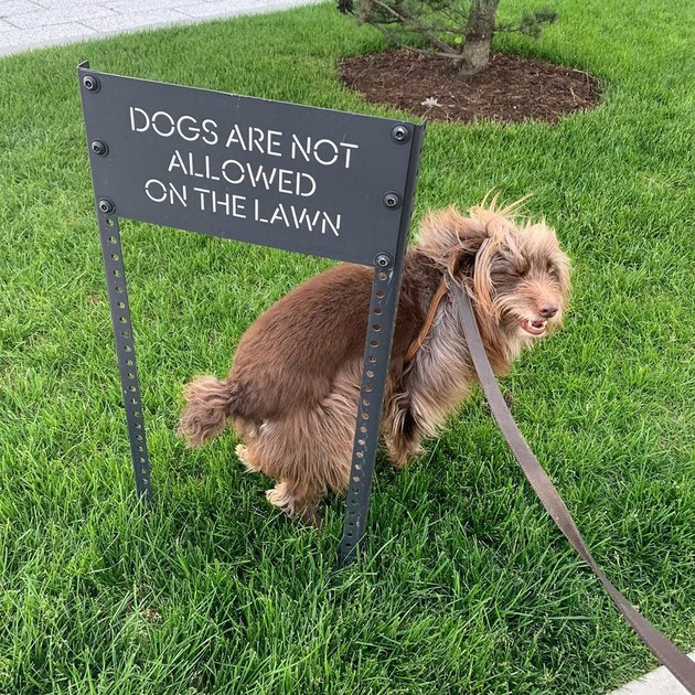 dog smiles next to no dogs allowed sign
