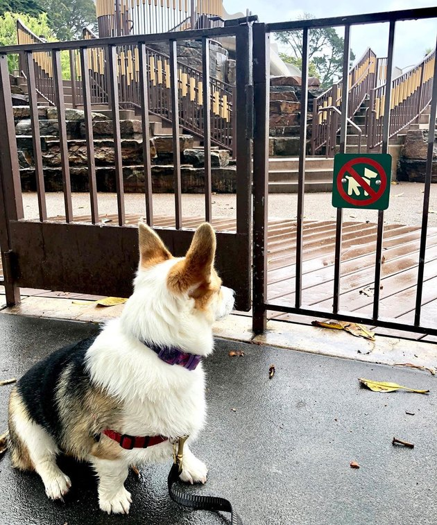corgi reacts to no dogs allowed sign