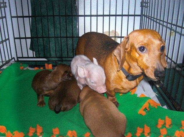 Dachschund nursing puppies and piglet