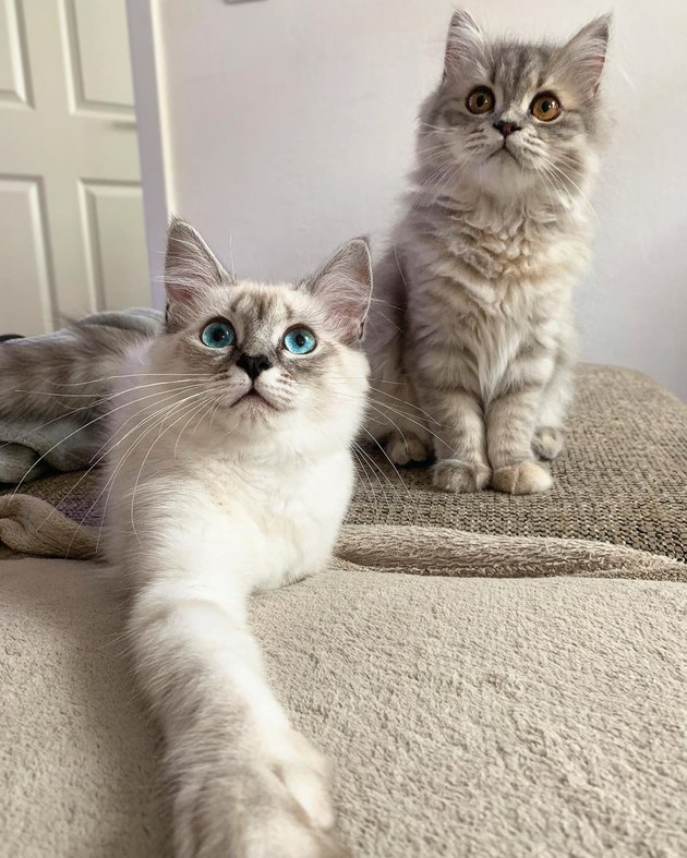 Two Ragdoll kittens