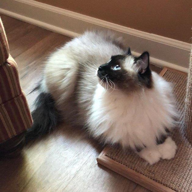 Ragdoll cat looking innocent