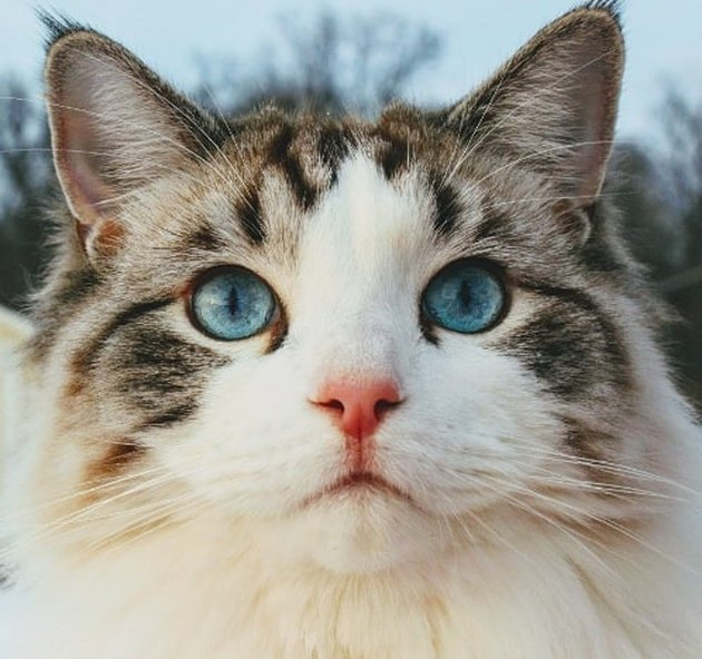Ragdoll cat in snow