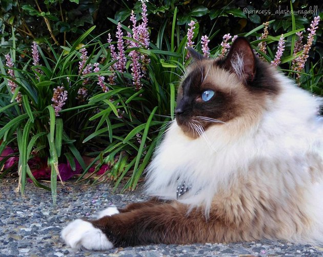 Ragdoll cat with flowers
