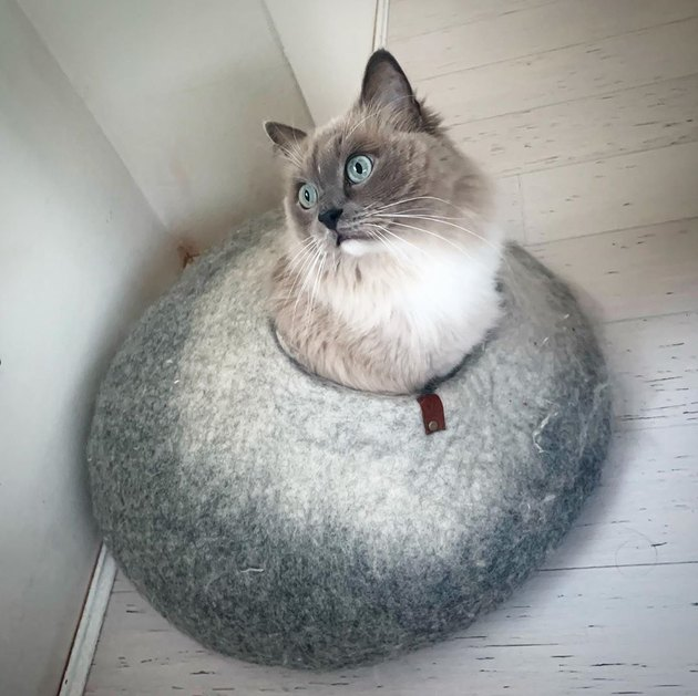Ragdoll cat coming out of a cat bed