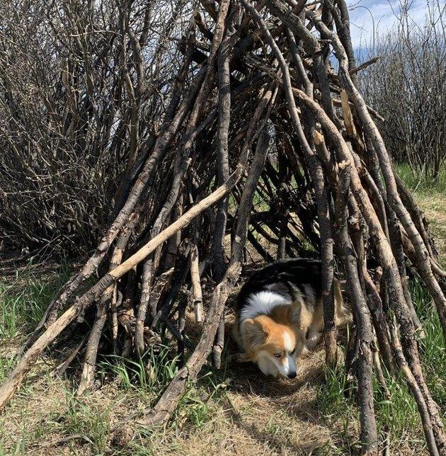 dog inside a stack of wood
