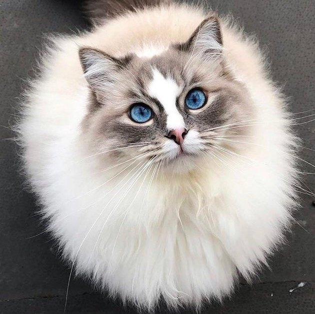 Ragdoll cat with very blue eyes