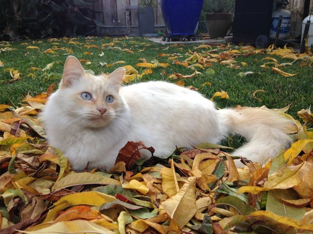 Ragdoll cat in autumn leaves
