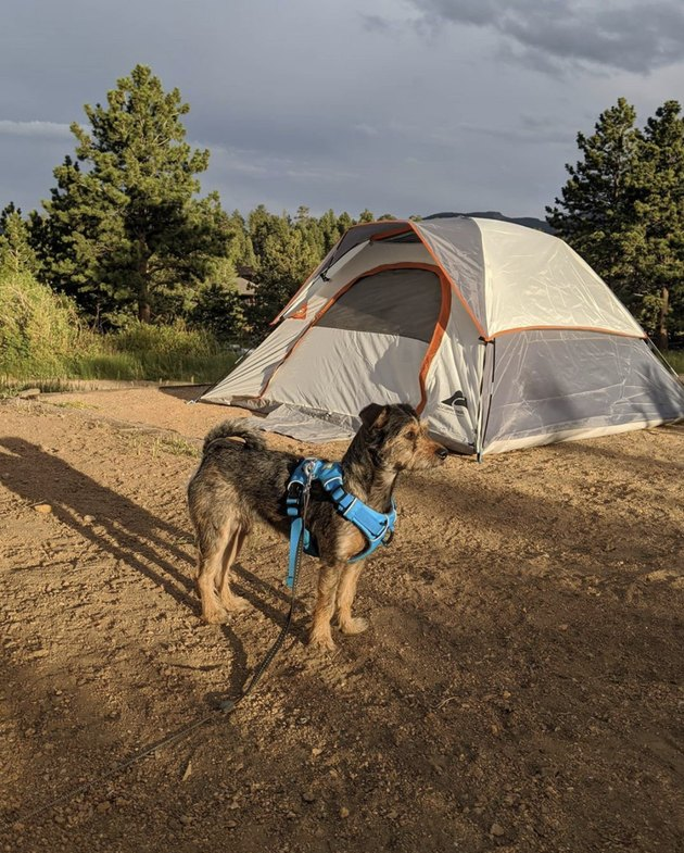 dog standing outside a tent