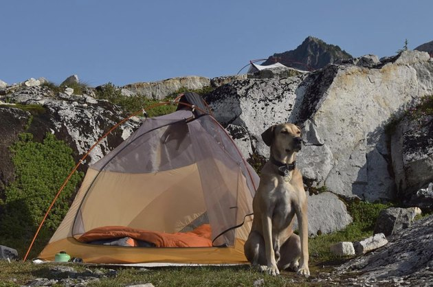 dog standing in front of tent