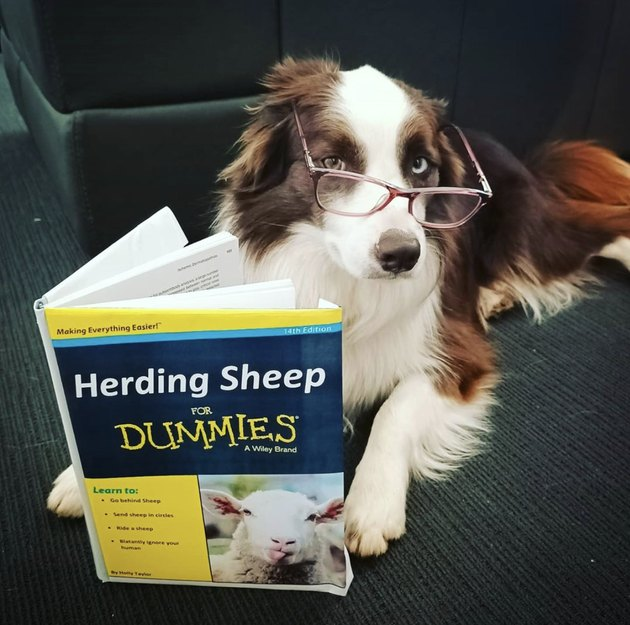 collie reading herding sheep for dummies book
