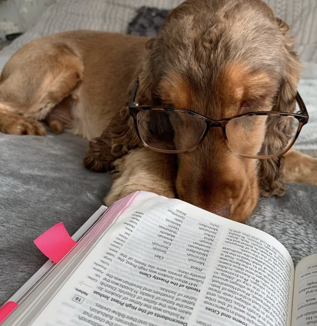 dog with glasses on reading a book