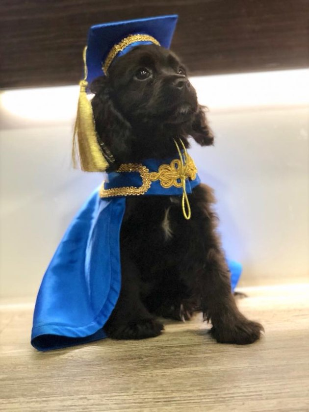 Puppy wears gown at graduation from puppy training