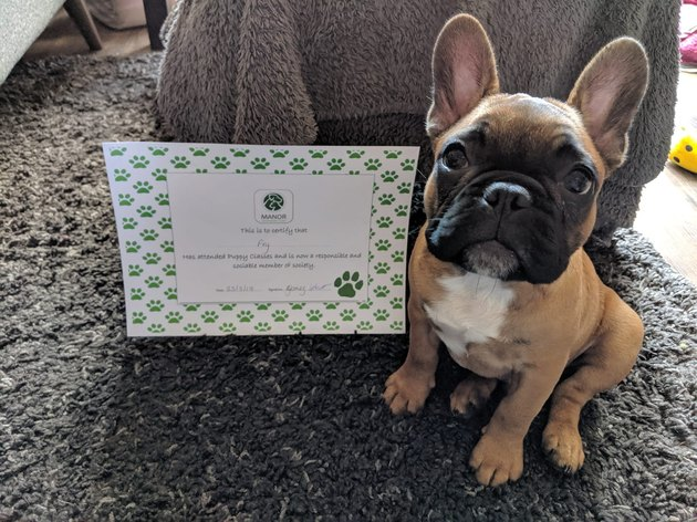 French bulldog puppy graduates from puppy school