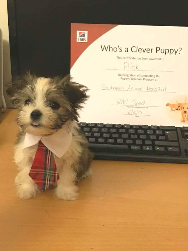 tiny dog in tie stands next to diploma