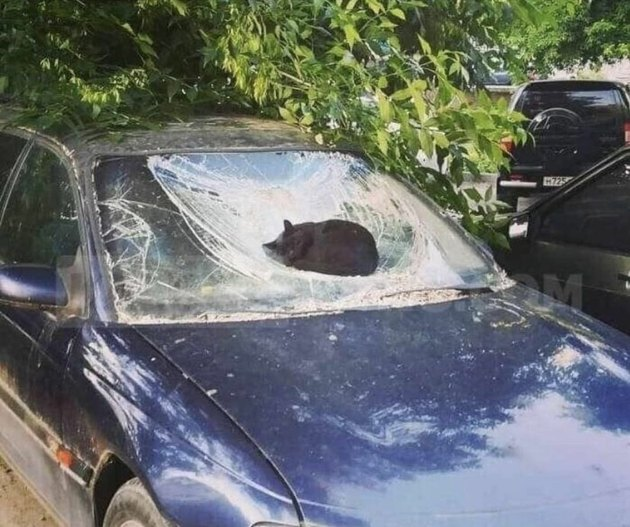 cat sleeps on broken windshield