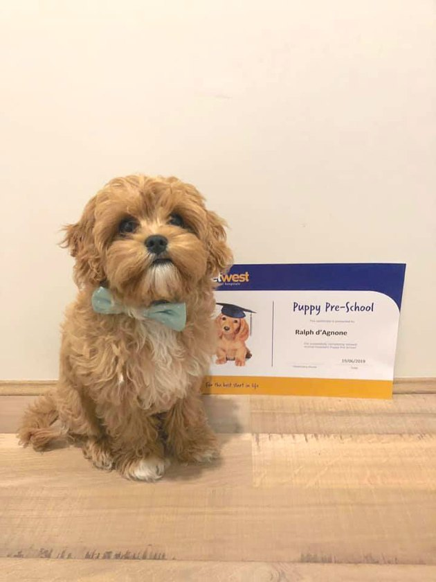 dog in bow tie stands next to diploma from puppy school