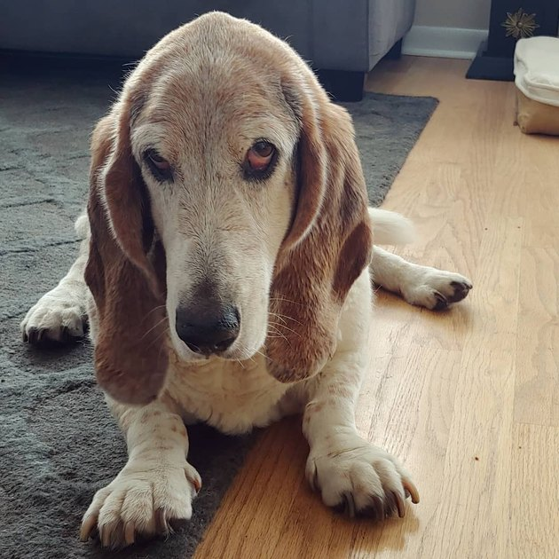 grumpy old basset hound
