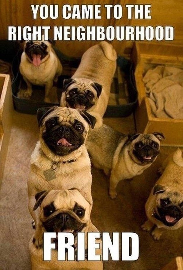 Friendly group of pugs