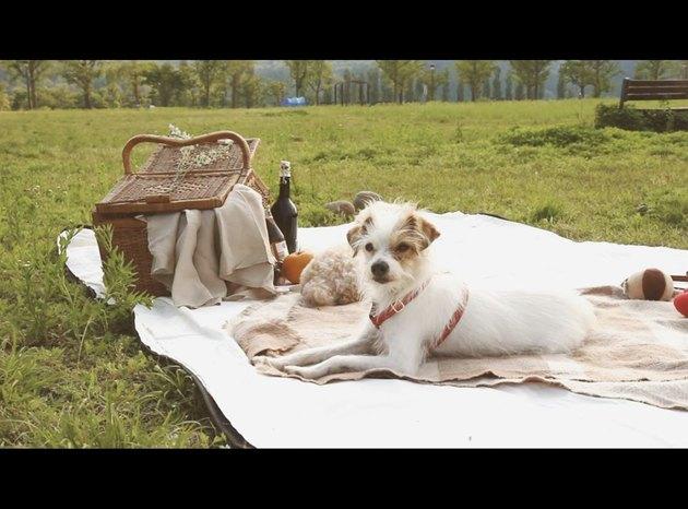 dog on a white picnic blanket