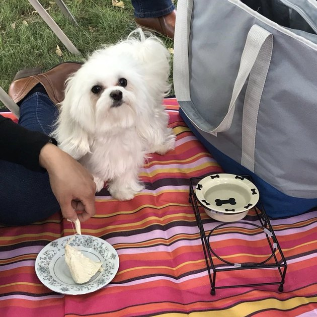 dog with water dish and cake on picnic blanket