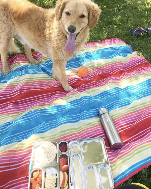 dog on striped picnic blanket with food