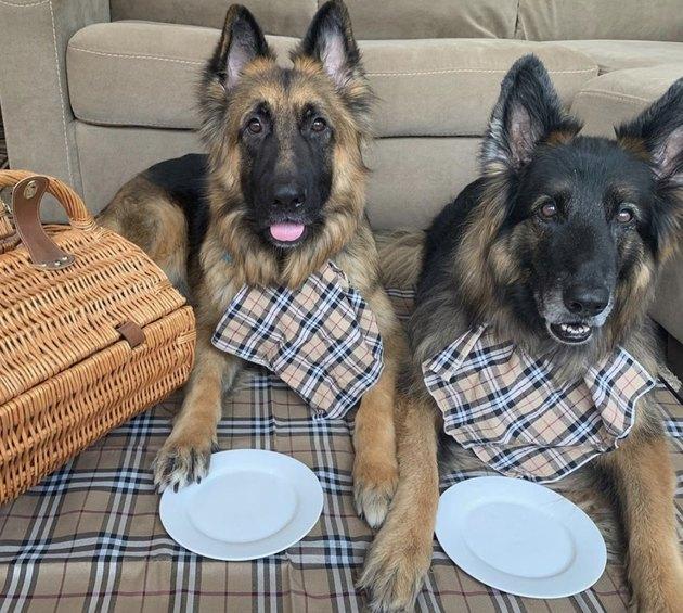 two german shepherds in burbery bibs on picnic blanket