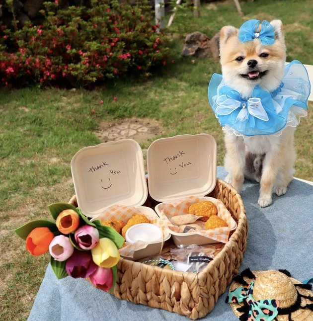 pomeranian in blue outfit by picnic basket