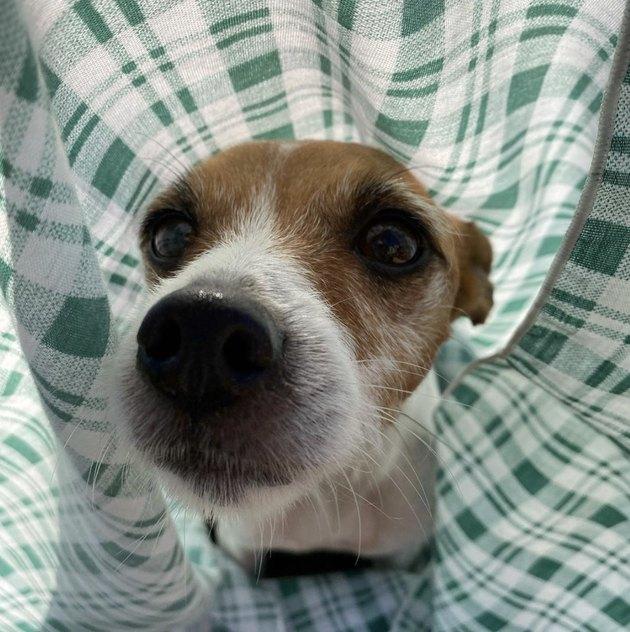 dog inside green picnic blanket