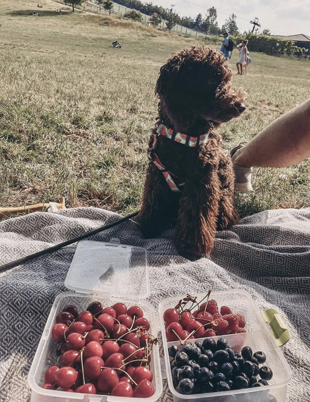dog at a picnic with berries
