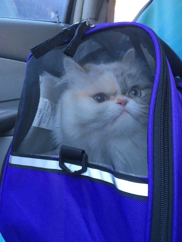 sour cat expresses displeasure with being put in carrier