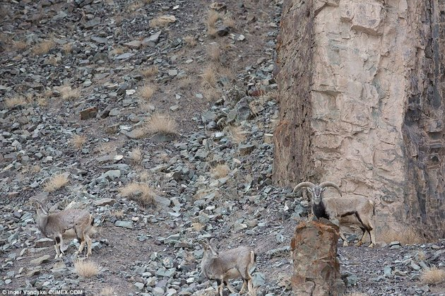 snow leopard blends into rocks