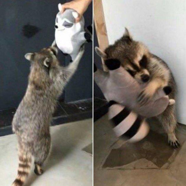 Raccoon hugging a raccoon stuffed animal.