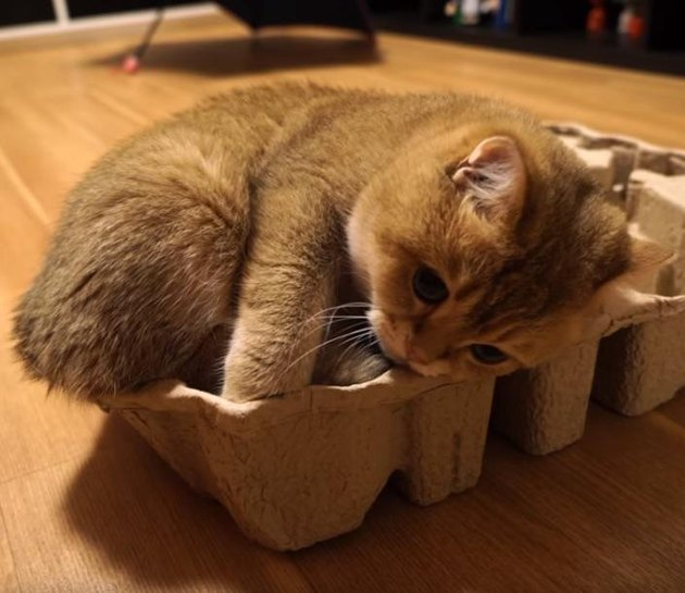 Kitten curled in egg carton.