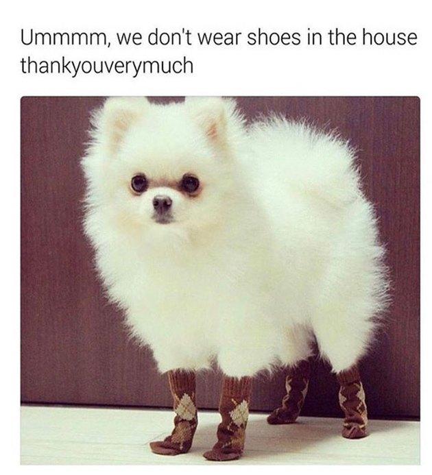 A Pomeranian wearing socks