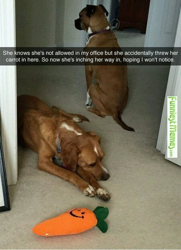 A dog sneaking into a room where she's not allowed