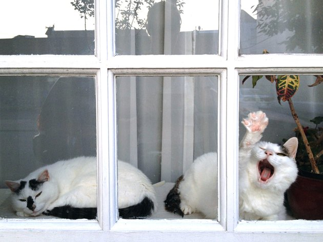 Cat in a window pressing its paw to the glass.