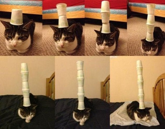Cat with paper cups stacked on its head.