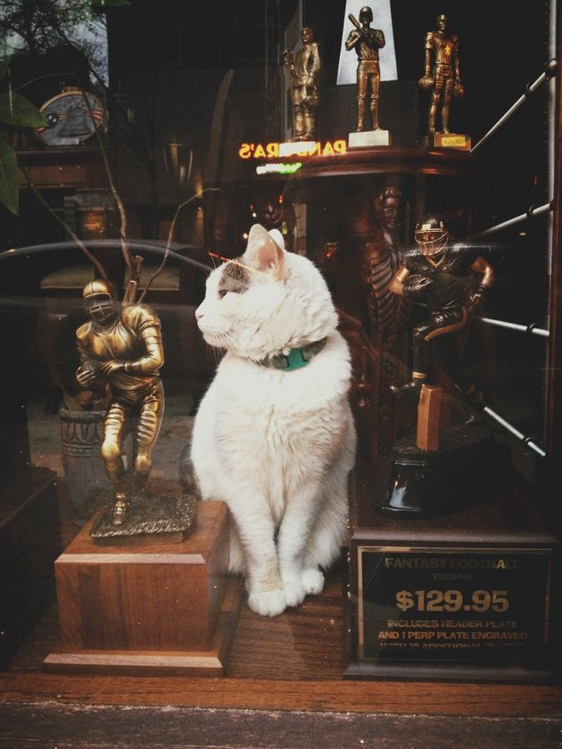 Cat in the window of a trophy shop.