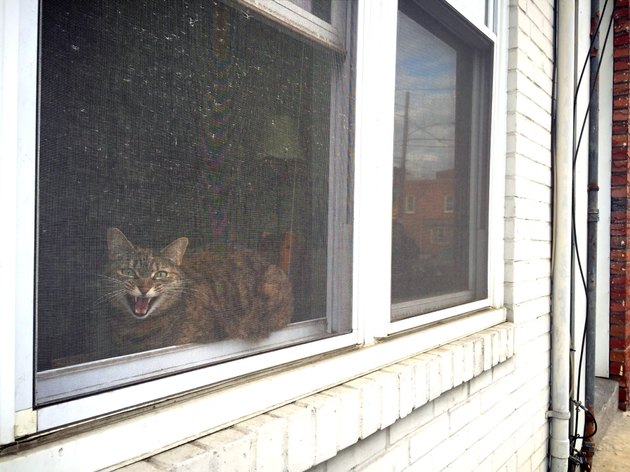Cat in a window meowing angrily.