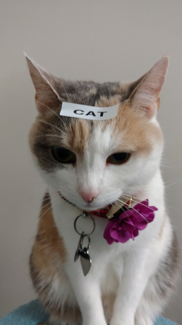 "Cat with a label on its head that says ""cat"""