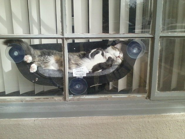 Cat in a hammock attached to window.