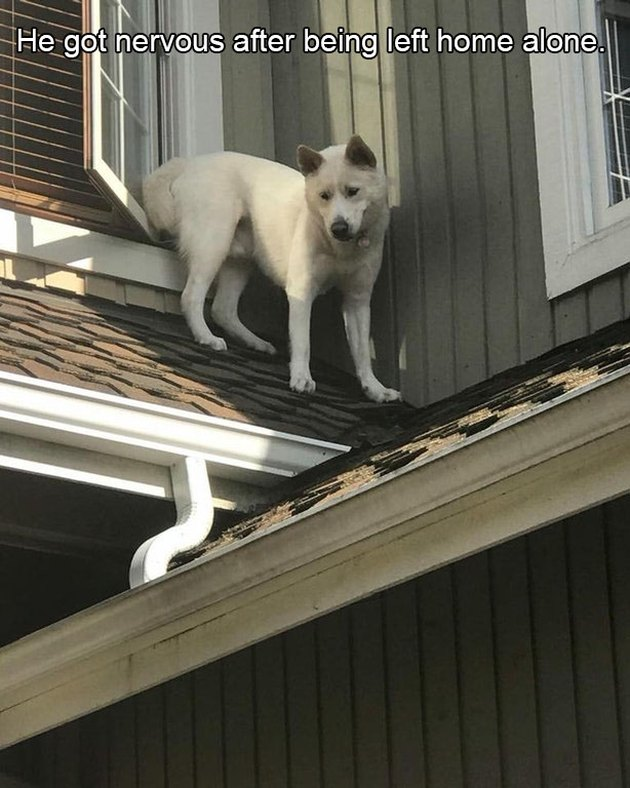 Nervous dog standing on roof.