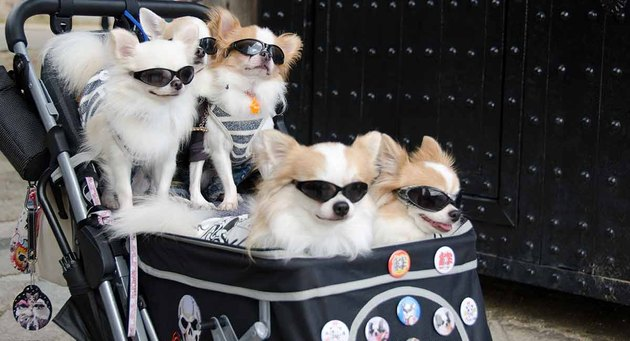 fancy dogs together in a stroller