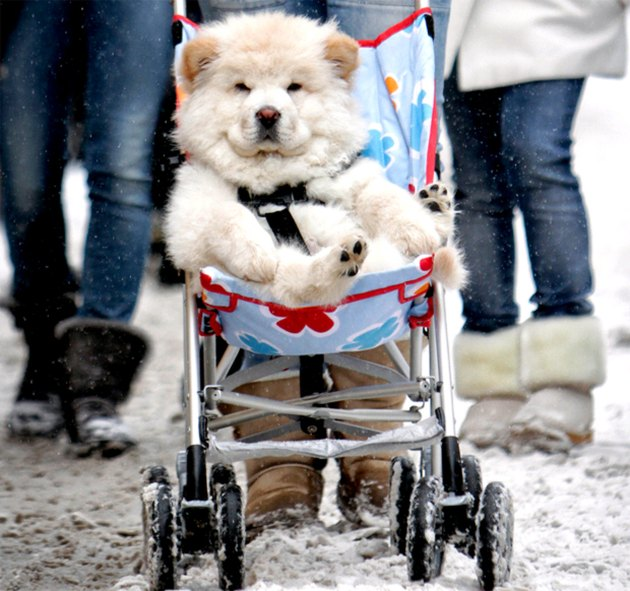 snowy dog in stroller