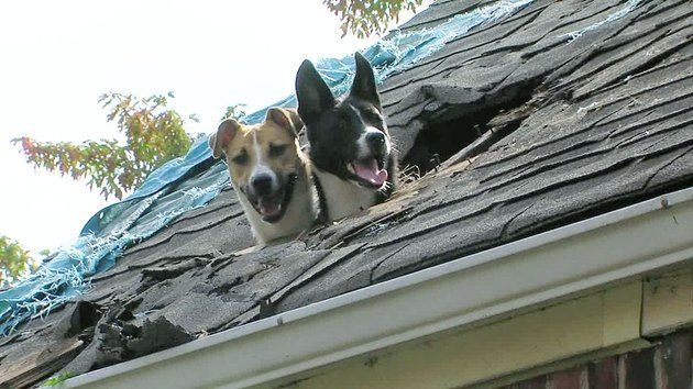 Two dogs looking out of hole in roof.